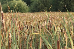 field-of-cattails-by-isaac-holmgren